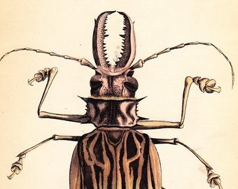 Antique Vintage Prionis Cervicornis  Beetle Print . plate 23 . original coleoptera engraving art dated 1835 vol II . Reduced price