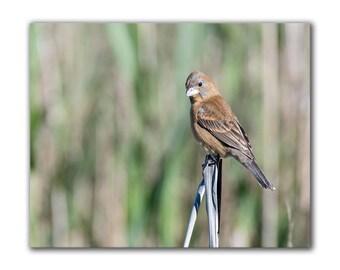 Nature print, wildlife photo, bird photography, bird picture, wildlife art, nature photo, bird print, ornithology print, blue grosbeak, 8x10