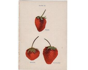 1905 STRAWBERRY FRUIT LITHOGRAPH -  original antique print - miniature fruit print - strawberries berry berries