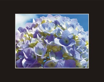 Hydrangea Powder Blue Photographic Print matted in black sand coastal North Carolina