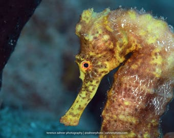 Sea Horse Decor ~ Sea Horse Art ~ up close with a Yellow Longsnout Seahorse