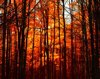 Fine Art Photography Print, Autumn Forest Trees in Weedsport, NY, 20x24 Wall Art