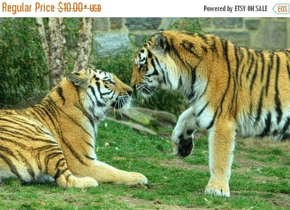 SALE 20% OFF Tiger Photograph Nature Photography African Safari Stripes Kiss Love Africa Orange and Black Stripes Color Art Print Valentine'