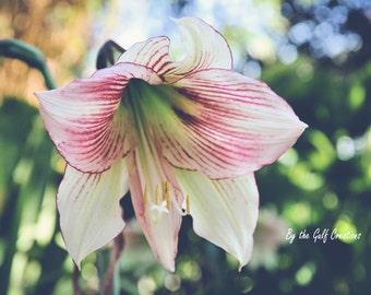 Hippeastrum, Flower, Nature Photography, Fine Art Photography, 8x10, Matted, Glossy, Floral Photography, Bokeh