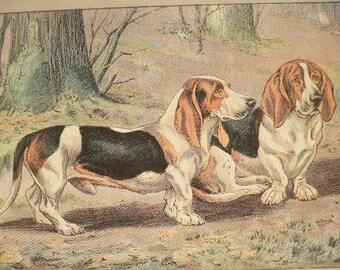 ANTIQUE 1907 BASSET HOUND Basset D'Artois dog crooked legs signed dog print Chromolithograph Mahler German artist Collectors item Birthday