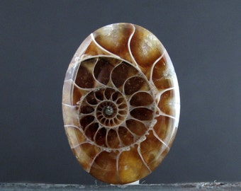 REVERSIBLE Oval Natural Ammonite,Puffy,  Nautilus  Fossil B6666