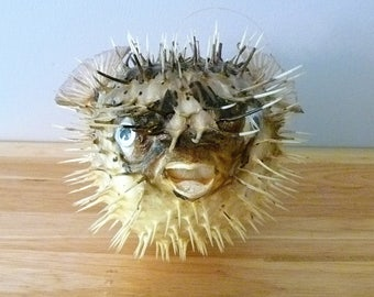 "Porcupine Fish 6 -8"" puffer fish blowfish  preserved sealife taxidermy beach wedding decor nautical collection ocean decor"