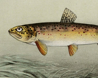1868 Antique lithograph of a TROUT FISH. Freshwater fishes. Fishing. 149 years old print
