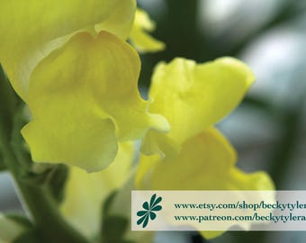 Snapdragon Flower Fine Art Photo Print
