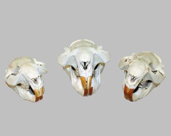 Glacier Wear Natural Beaver Skulls