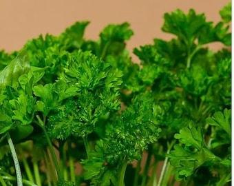 Parsley 'Forest Green' curly parsley 100+ seeds, heirloom  op biennial herb