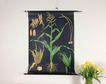 Vintage pull down school chart, Maize