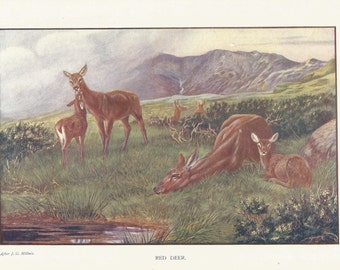 Red Deer by J G Millais 1911 colour Mammal Print Wall Art Home Decor Vintage print