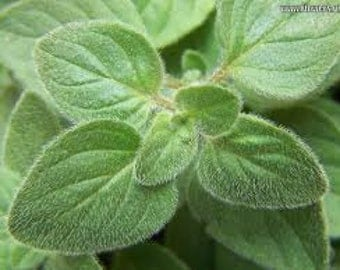 HO) GREEK OREGANO~Seed!!~~~~~~For Discriminating Tastes!