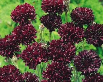 ABB) BLACK BALL Bachelor Button~Seeds!!!!~~~~~~~~Splendid Annual!