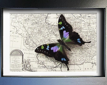 Purple Spot Swallowtail Real Butterfly On Vintage Map In Museum Quality Shadowbox