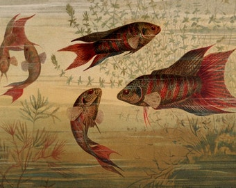 """Antique print.1890.Lithograph in color.PARADISE FISH.127 year old print.Sea print.Natural History print.Old print.6,2x9,2"""" or 16x23,5cm."""