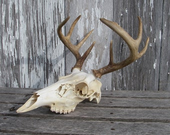 Vintage Michigan Whitetail Buck European Skull Mount, 8 Point 4 x 4 Whitetail Buck Skull, Deer Skull With Antlers For Art Craft Supplies