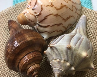 Lightning Whelk and Conch SeaShells
