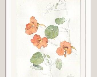Nasturtium drawing N2 - ORIGINAL watercolour and pencil drawing of Nasturtium flowers - Nasturtium painting botanical drawing