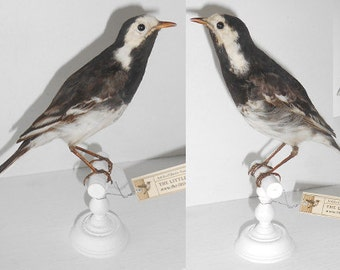 Antique taxidermy bird - Wagtail - Circa 1860