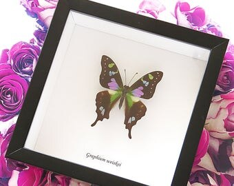 Taxidermy wall decor real purple butterfly in shadowbox Graphium weiskei