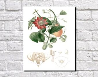 Passion Flower, Botanical Print, Vintage Plant illustration,  Botanical Poster, Kitchen Decor, Book Plate  0382