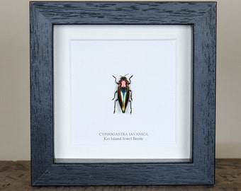 Rainbow Jewel Beetle in Box Frame (Cyphogastra javanica)
