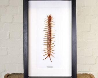 Giant Centipede in Box Frame (Scolopendra sp.)