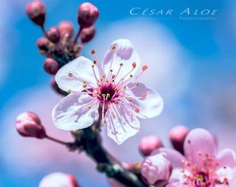 Sakura Flower,Macro Photography,Instant Download,Cherry Blossom Tree,Spring Picture,Pink Art Decor,Blue Home Decor,Garde Decor Image,Nature