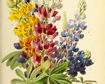 flowers-28244 - Lupin lupine lupinus flowering bouquet  herbaceous perennial digital vintage illustration picture image printable print jpeg