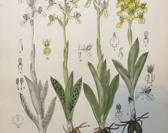 Vintage Botanical Print - Yellow Orchids