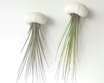 Two Jellyfish Air Plants, Hanging Air Plants in Sea Urchin Shell
