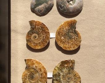 Ammonite Pair of Polished Halves