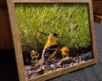 Golden Finch Framed Photograph