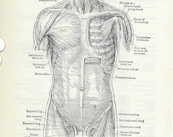 Human Anatomy Vintage Medical Dictionary Illustration Anterior Muscles of the Trunk to Frame or for Paper Arts PSS 3013