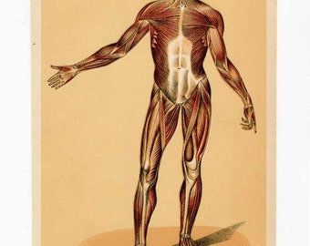 Antique Anatomy Bookplate Illustration Print, The Muscular System, Anatomy Illustration, Print for Framing, Sepia Tones Print