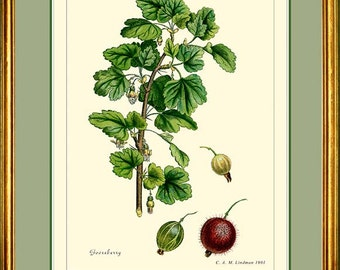 GOOSEBERRY - Botanical art print reproduction