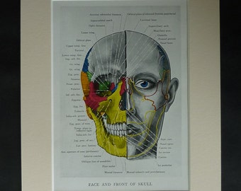 1930s Antique Anatomy Print, Medical Oddity Decor, Available Framed, Face Art, Anatomical Gift for Doctor, Skull Diagram, Retro Hospital Art
