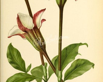 flowers-29127 - gardenia stanleyana Rothmannia longiflora Flora of tropical East Africa vintage printable botanical illustration plant book