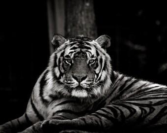 Siberian Tiger Stare Down