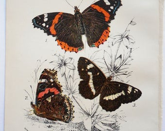 Butterfly Antique Lithograph. Colorful, 1896 Original Natural History. From Kirby's Lepidoptera. Pyrameus Atalanta and Limenitis Camilla