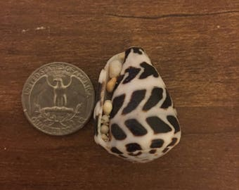 Hawaiian hebrew cone shell