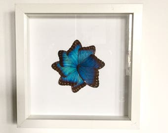 Real butterfly frame wings morpho