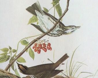 1966 OVENBIRD Original Vintage Audubon Print, Matted and Ready to Frame 14 x 11 inches, Bird Decor, Vintage Decor, Ornithology