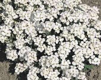Rock Cress (Arabis Caucasica 'Snowfix') - perennial plants - alpine garden plants - white flowers - ground cover plants - live plants