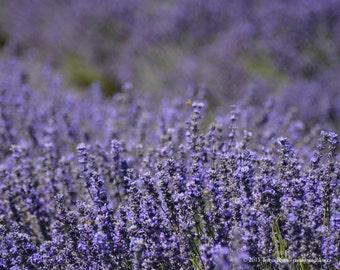 Lavender 6 - Sequim WA