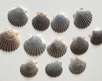 Grey Scallop Shells - Bulk Sea Shells for Crafting and Home Decor