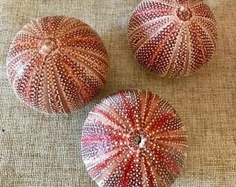 "3 Large Urchin, Three English Channel Sea Urchin Shell- Coastal Beach Decor,Nautical Display, Beach Decor, 4 - 5"" Sea Urchin"