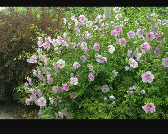 3 Rose of Sharon plants,15-30 inch